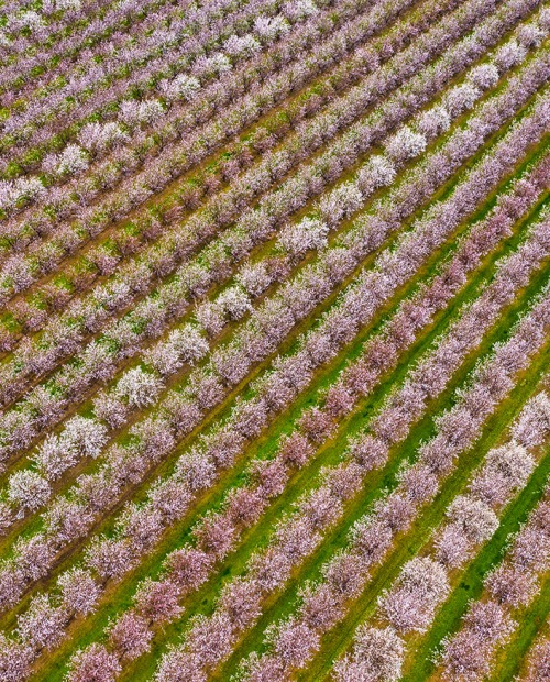 Rows of blooming almond trees, aerial photo taken in Northern Ca